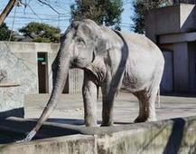 Le Japon en deuil après la mort de son plus vieil éléphant | Nature to Share | Scoop.it