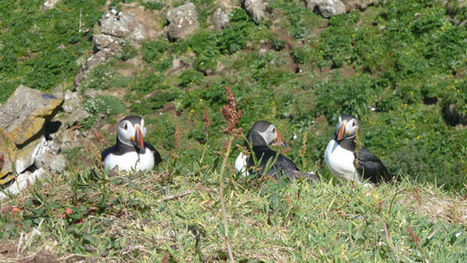 Puffins Facing Extinction Due to Overfishing and Pollution - Gizmodo UK | Amocean OceanScoops | Scoop.it