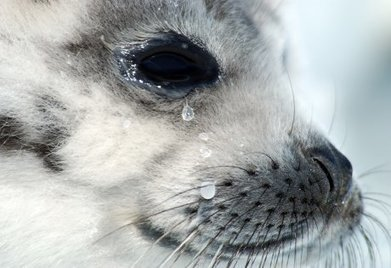End the cruel and wasteful seal hunt | All about water, the oceans, environmental issues | Scoop.it