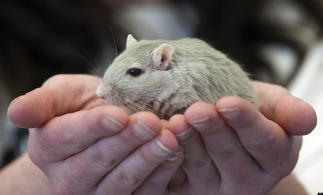 Gerbils Strut Their Stuff At New England Pageant - Huffington Post - Huffington Post | Guinea Pigs | Scoop.it