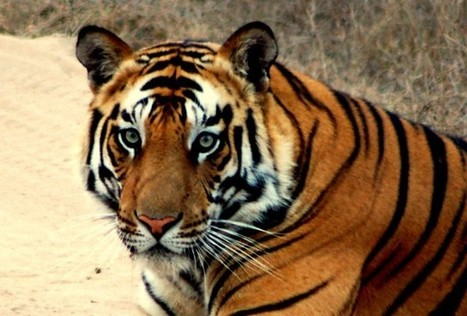 China allowing sale of tiger bone wine   Quirky wine & spirit articles from VINGLISH   Scoop.it