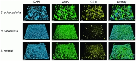 Crenarchaeal biofilm formation under extreme condit... [PLoS One. 2010] - PubMed - NCBI   Publications-Albers lab   Scoop.it