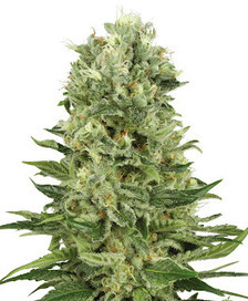 The 3 Different Kinds Of Cannabis Seeds | Cannabis Seeds | Scoop.it