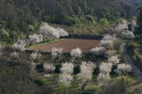 Saint-Saturnin les Apt, verger de cerisiers | Le fruit de l'actualité | Scoop.it