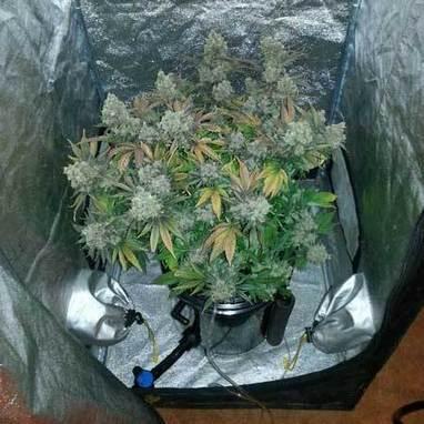 Marijuana Dwc Bucket Flowering Stage Presente