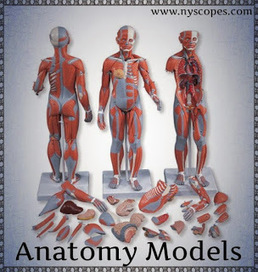 Which anatomy model will best suit your requirements? | The Medical Supplies You Use | Scoop.it