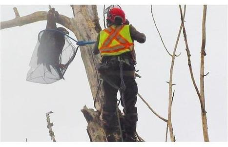 Arborist climbs 25-metre-tall dead tree in Fort Langley to rescue young eagle (Video) | Good News worth Sharing | Scoop.it