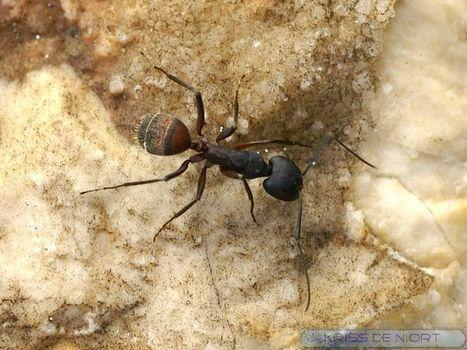 Photos de fourmis : Camponotus cruentatus | Fauna Free Pics - Public Domain - Photos gratuites d'animaux | Scoop.it