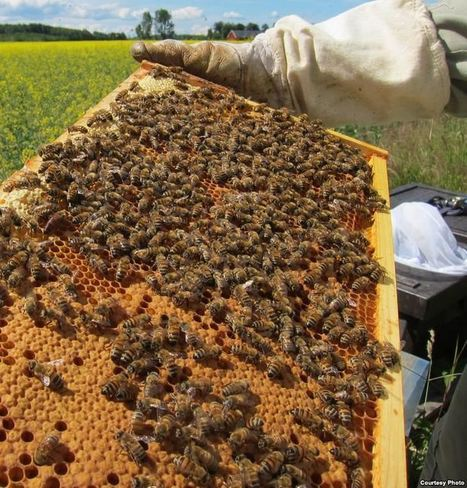 VoA - Honeybees Are Disappearing, No One Knows Why | News for IELTS + Class Discussion | Scoop.it