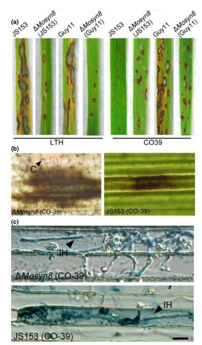 The syntaxin protein (MoSyn8) mediates intracellular trafficking to regulate conidiogenesis and pathogenicity of rice blast fungus | Rice Blast | Scoop.it