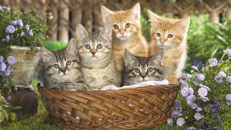 Tabby Cats Information | Pets – Your Little Friends | Scoop.it