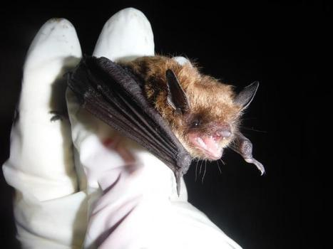 'Listening' helps scientists track bats without exposing the animals to disease - Phys.Org | Bat Biology and Ecology | Scoop.it