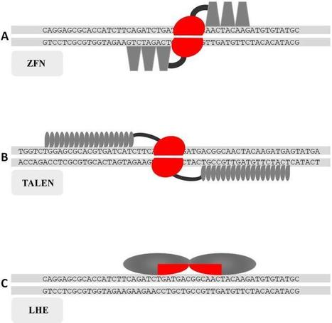Genome Engineering of Crops with Designer Nucleases | Multi- gene | Scoop.it