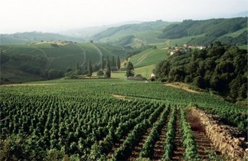 Beaujolais producers unite to stop 'loss of vines' | Vitabella Wine Daily Gossip | Scoop.it