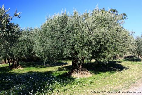 L'olive, fruit typique de la Provence - Claire en France | Le fruit de l'actualité | Scoop.it
