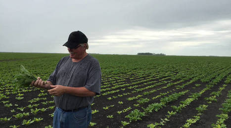 Why sugar beet farmers are all in on GMOs | FCHS AP HUMAN GEOGRAPHY | Scoop.it