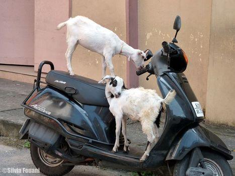 Les chèvres | Voyage photographie en Inde | Scoop.it