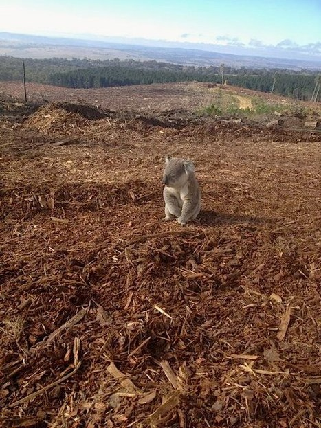 Deforestation And Extinction:  Confused koala discovers he has nowhere to go (Photos) | Biodiversity IS Life  – #Conservation #Ecosystems #Wildlife #Rivers #Forests #Environment | Scoop.it