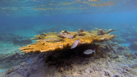 Watch: These reefs are beautiful—but most of the coral is dead | Caribbean | Scoop.it