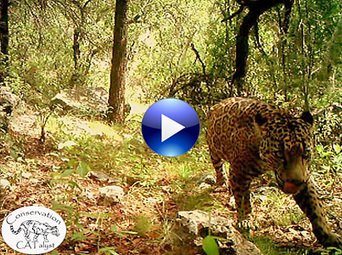 New #Video Shows America's Only Known Wild #Jaguar | Share Some Love Today | Scoop.it