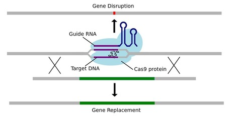 High-Precision Genome Editing : Wyss Institute at Harvard | Plant Genetics, NGS and Bioinformatics | Scoop.it