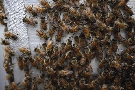 New virus linked to bee colony collapse disorder | Bees and Beekeeping | Scoop.it