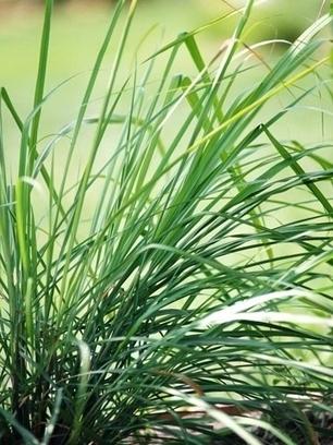 Citronella: come coltivare la pianta anti-zanzare | Coltivare l'orto | Scoop.it