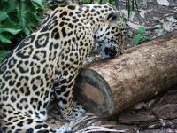 Great review of the Best Little Zoo in the World - Belize Zoo | Belize in Social Media | Scoop.it