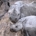 Rhino Crisis Round Up: Rhino Killing Attempt Thwarted at Zoo & More | What's Happening to Africa's Rhino? | Scoop.it