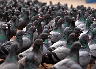 Des pigeons zombies en Russie ? | Toxique, soyons vigilant ! | Scoop.it
