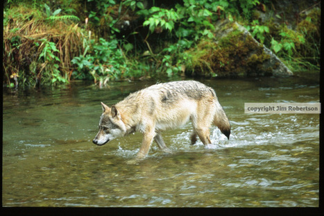 Speak for Wolves: August 7-9, 2015 | GarryRogers NatCon News | Scoop.it