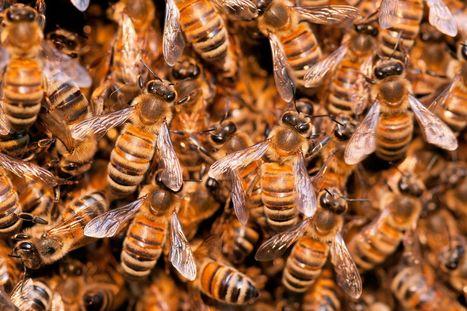 Le plan Ecophyto 2018, fausse bonne idée pour les abeilles   Toxique, soyons vigilant !   Scoop.it