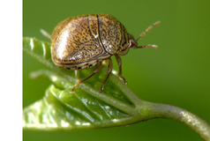 Addition of Megacopta cribraria to the EPPO Alert List | Pest Alerts | Scoop.it