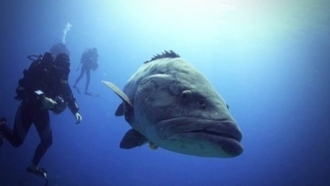 Vidéo HD | Afrique du Sud - Plongée avec les mérous géants ! | Plongeurs.TV | Scoop.it