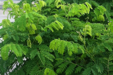 HEART » Missionary training – cultural adaptation, problem solving, and community development » Moringa: The Miracle Tree | Moringa Recipes and Cooking | Scoop.it