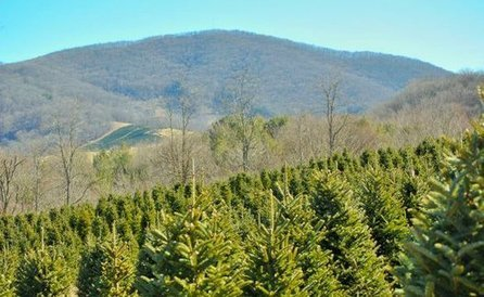 "NC Christmas Tree Farms Go Red and ""Green"" for the Holiday 