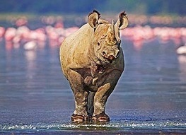 Vietnamese Nationals Caught Smuggling Rhino Horns In South Africa | What's Happening to Africa's Rhino? | Scoop.it