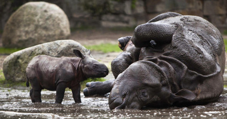 A new born Indian rhinoceros cub and its mother Betty take a... | Sight For Sore Eyes | Scoop.it