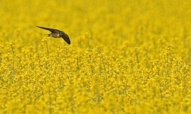 Neonicotinoids linked to recent fall in farmland bird numbers   hotchpotch   Scoop.it