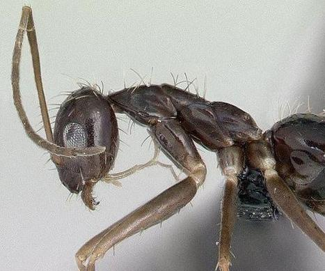 Crazy ants might be replacing fire ants as biggest pests | All About Ants | Scoop.it