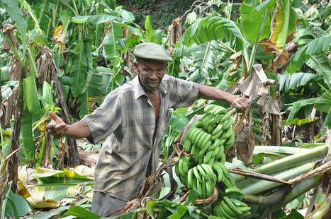 The Race to Save the Caribbean's Banana Industry - Inter Press Service | Sustain Our Earth | Scoop.it