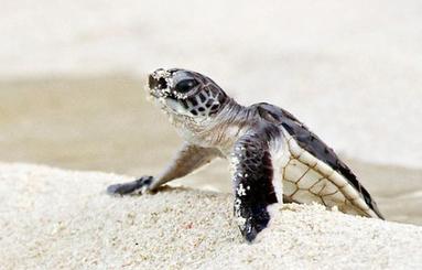 "Sea Turtle News - lovetheplanet | ""How I Became An Elephant"" wins Film Festival award | Scoop.it"