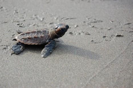 A Billion Baby Turtles - Travel Culture Magazine | Travel destinations | Scoop.it