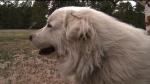 Colorado couple opening Pyrenees rescue sanctuary - Fox 31 KDVR.com | Animal Rescue Web Digest | Scoop.it
