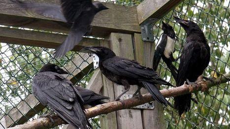 Colmar : la chasse aux corbeaux est lancée pour les éloigner du centre-ville | Biodiversité | Scoop.it