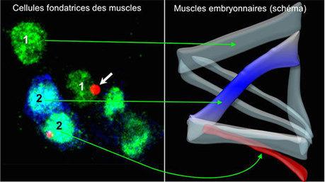 Il faut du temps pour développer une musculature parfaite   EntomoNews   Scoop.it