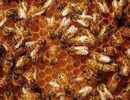 Dancing honeybees assess the health of the environment | THE WORLD AROUND US ODD & INTERESTING STORIES | Scoop.it