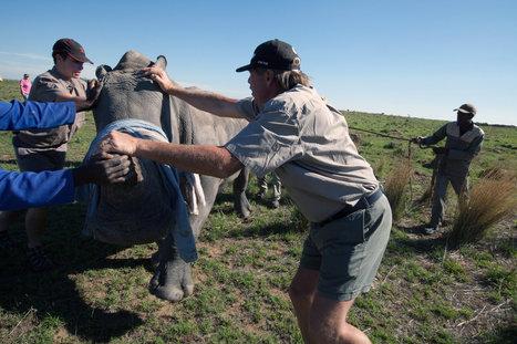 Ruthless Smuggling Rings Put Rhinos in Cross Hairs | Rhino poaching | Scoop.it