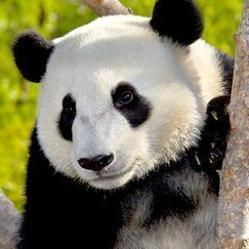 Giant Panda | San Diego Zoo Animals | Giant Pandas | Scoop.it