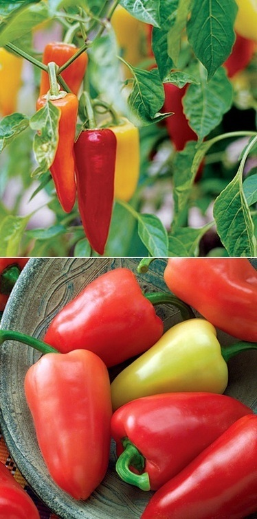 101 Gardening: How to grow mariachi peppers | Backyard Gardening | Scoop.it